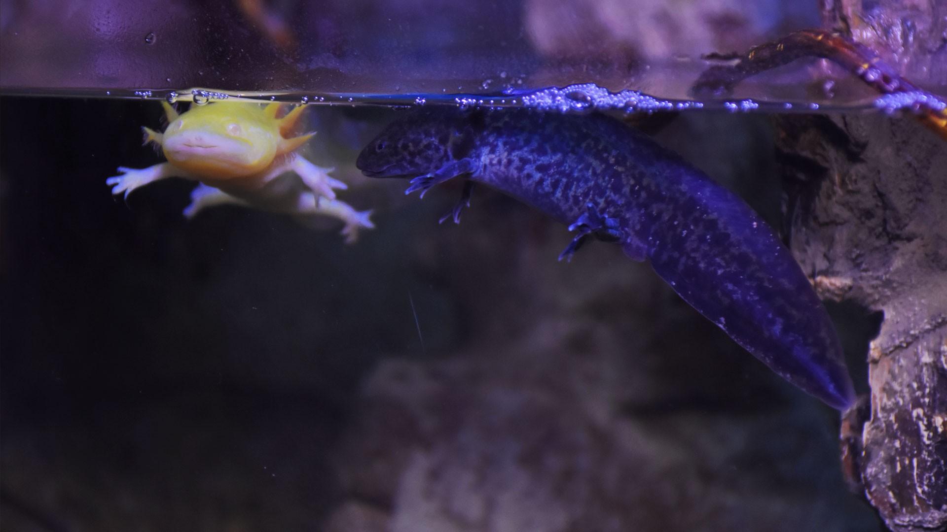 Axolote