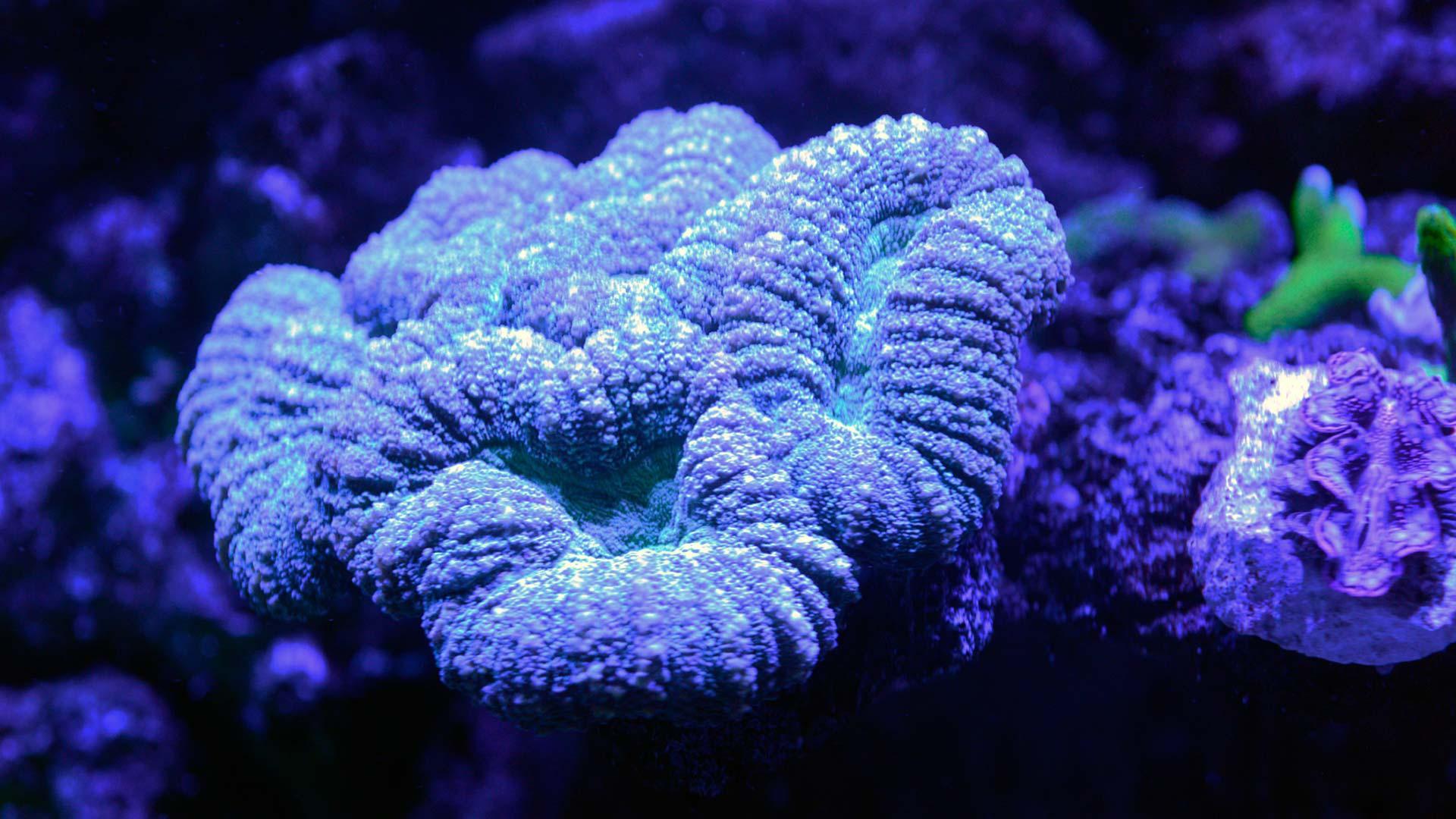 Coral Coliflor
