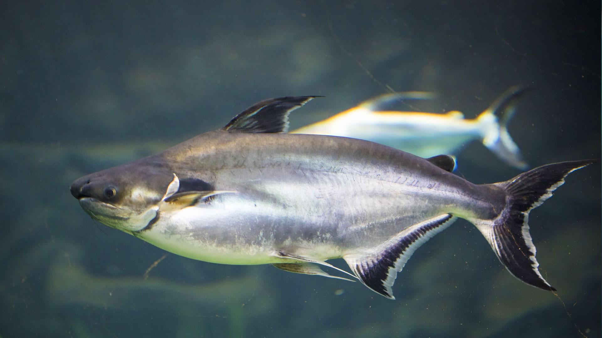 Tiburón Tailandés