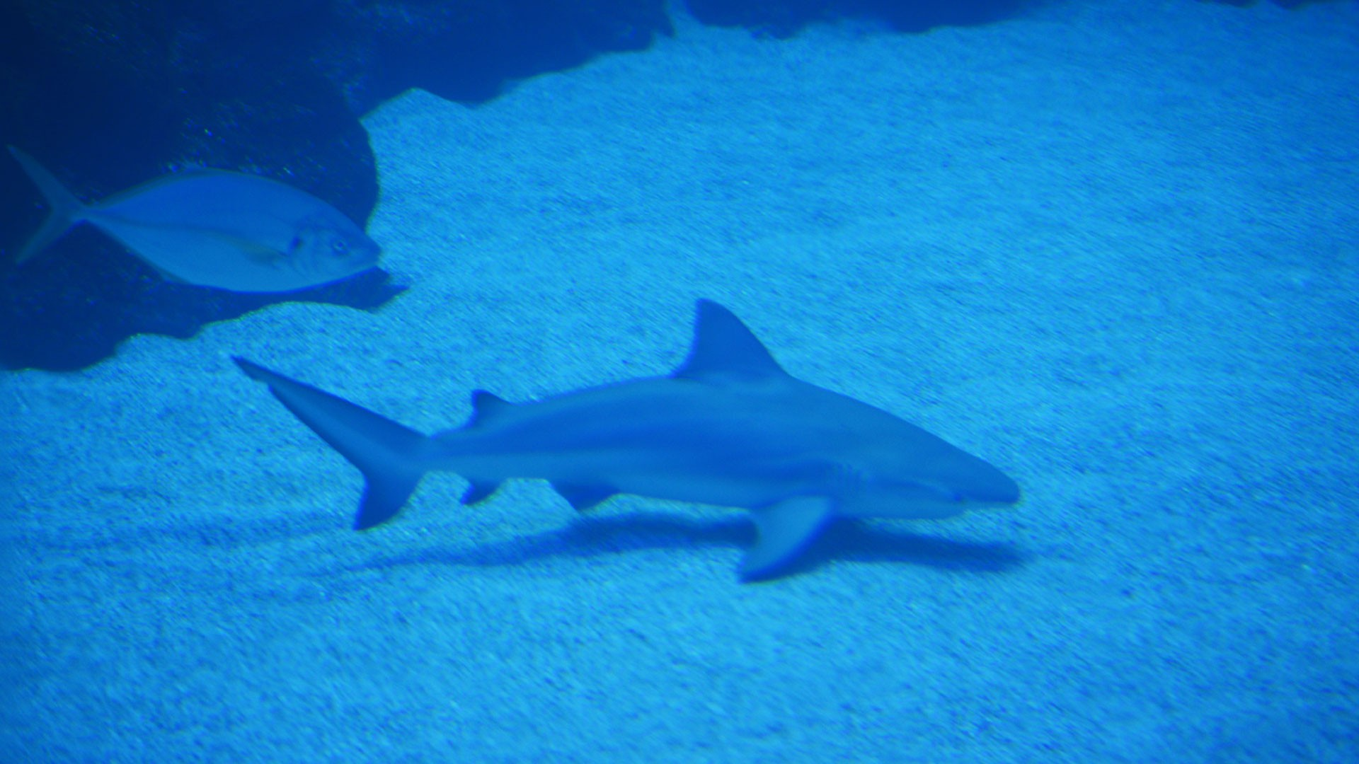 Tiburón Toro Leucas
