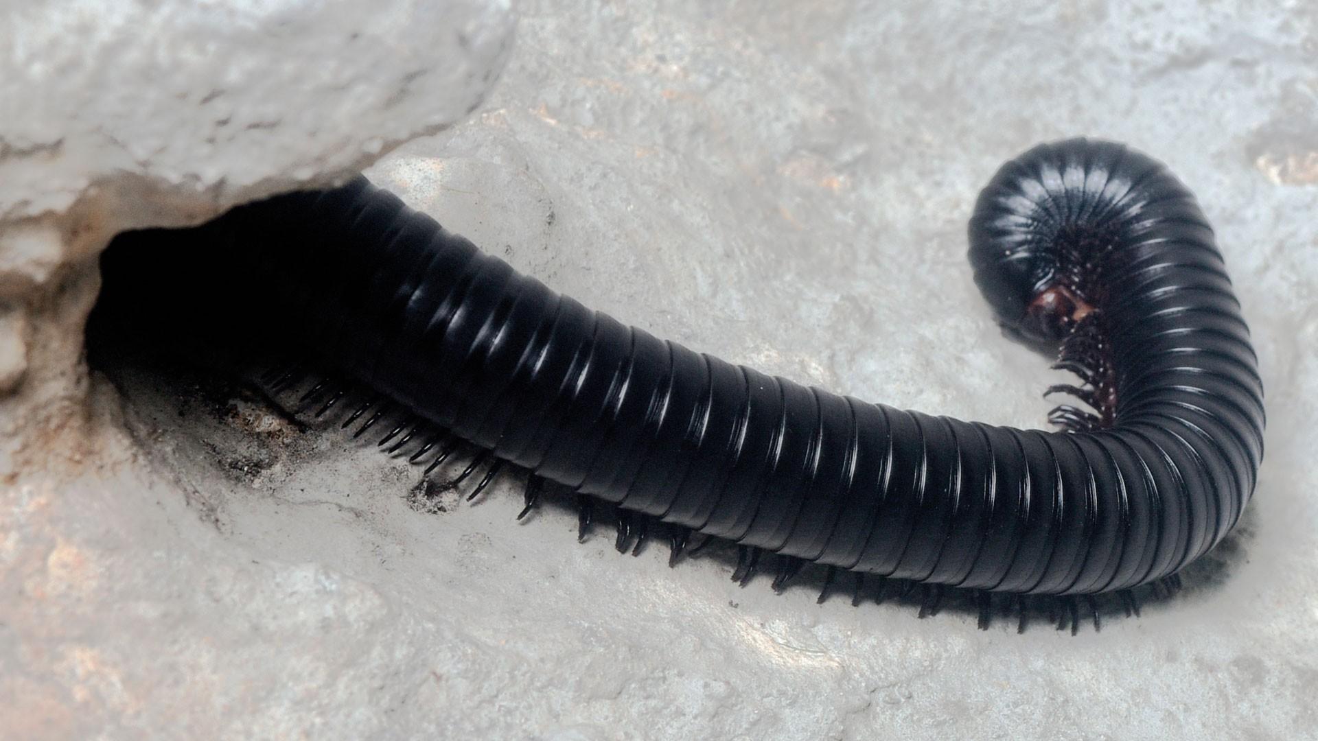 Milpies Gigante