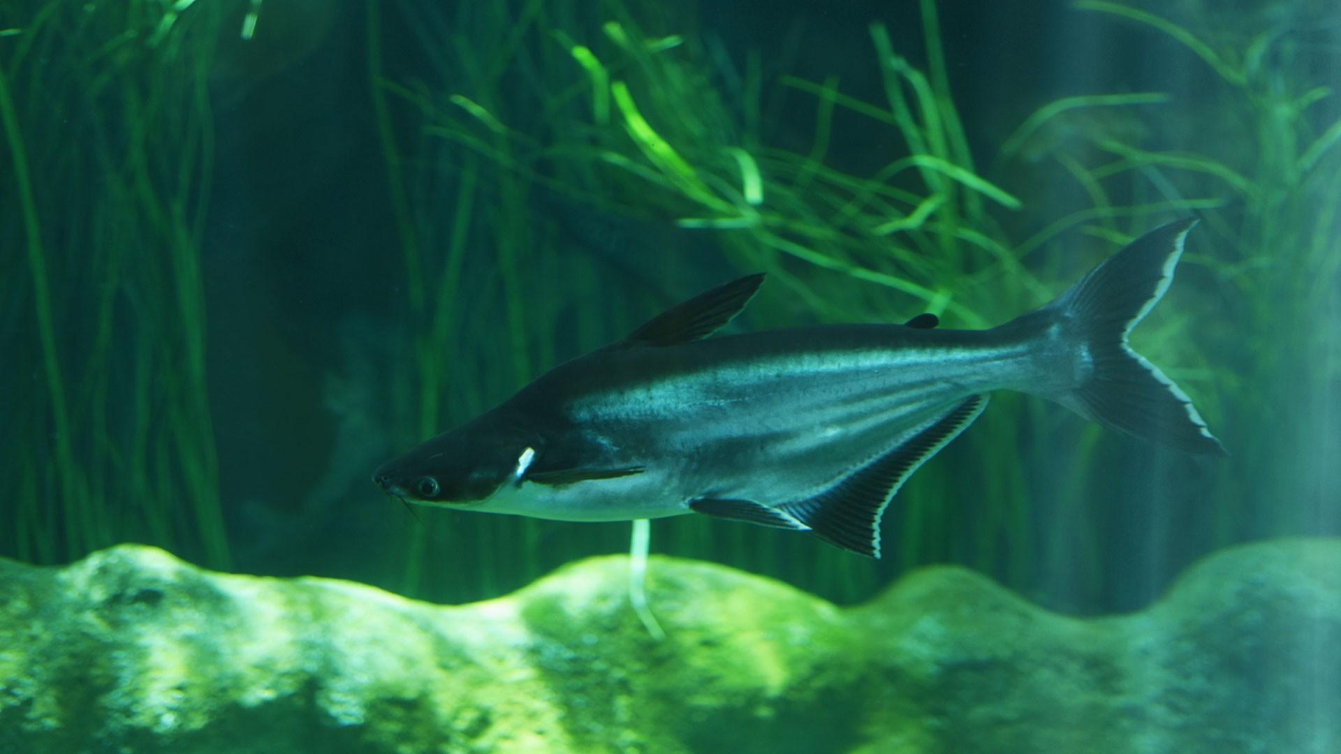 Tiburón de Sutchi