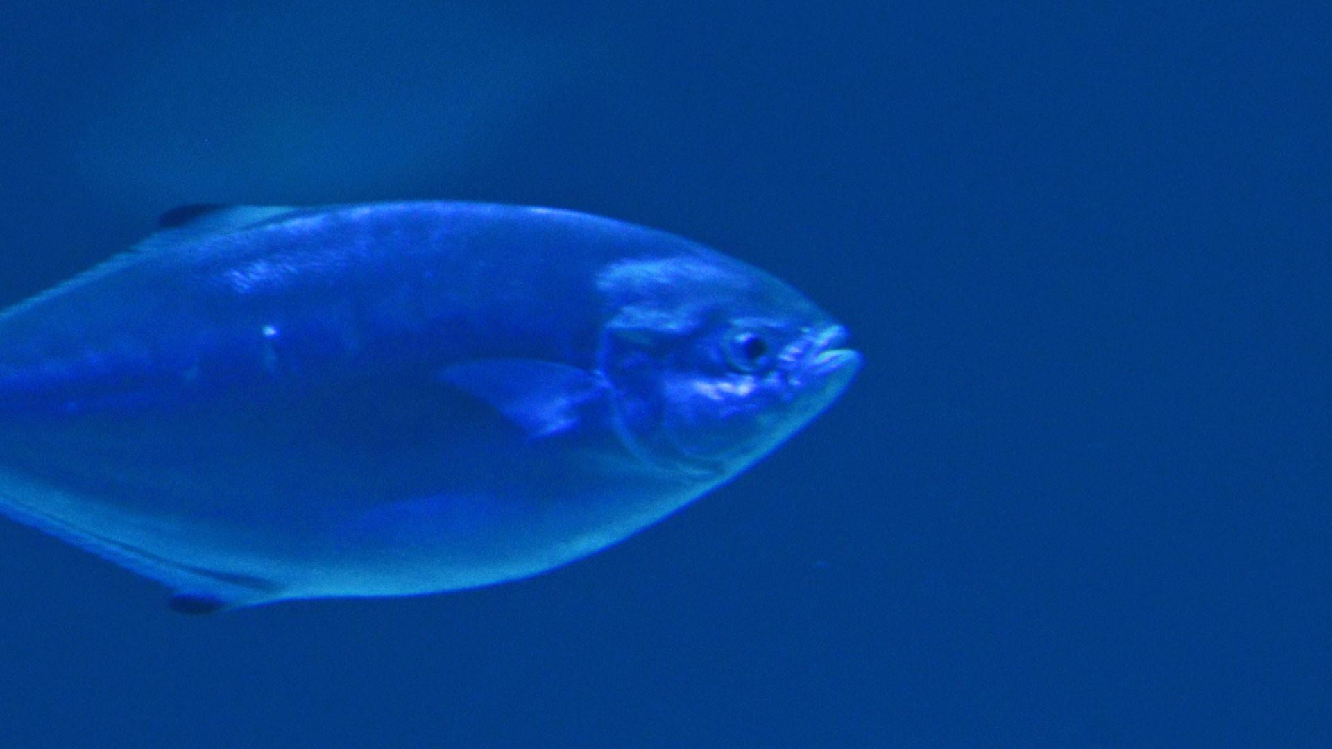 Palometa fish