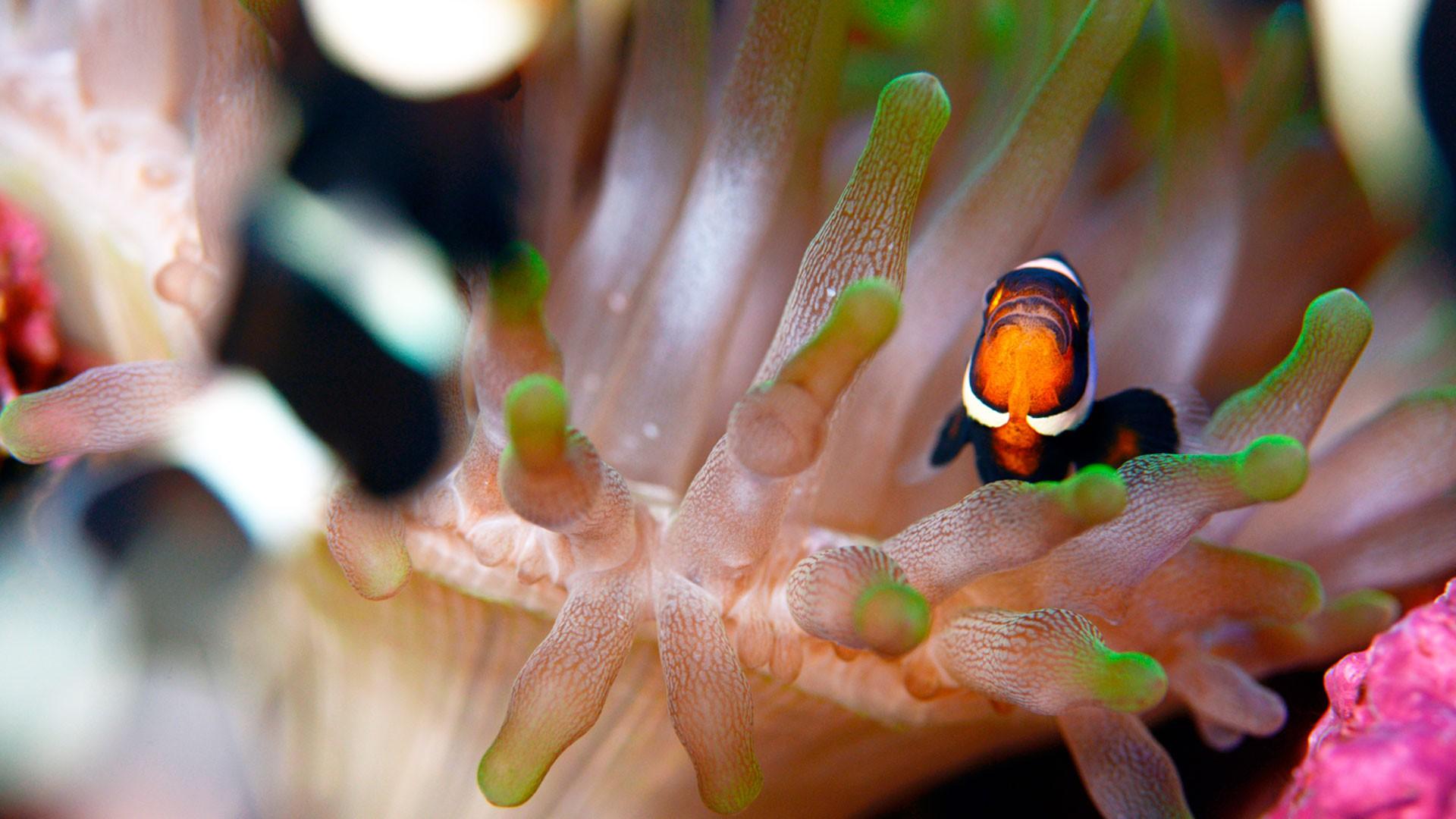 Brown Clownfish