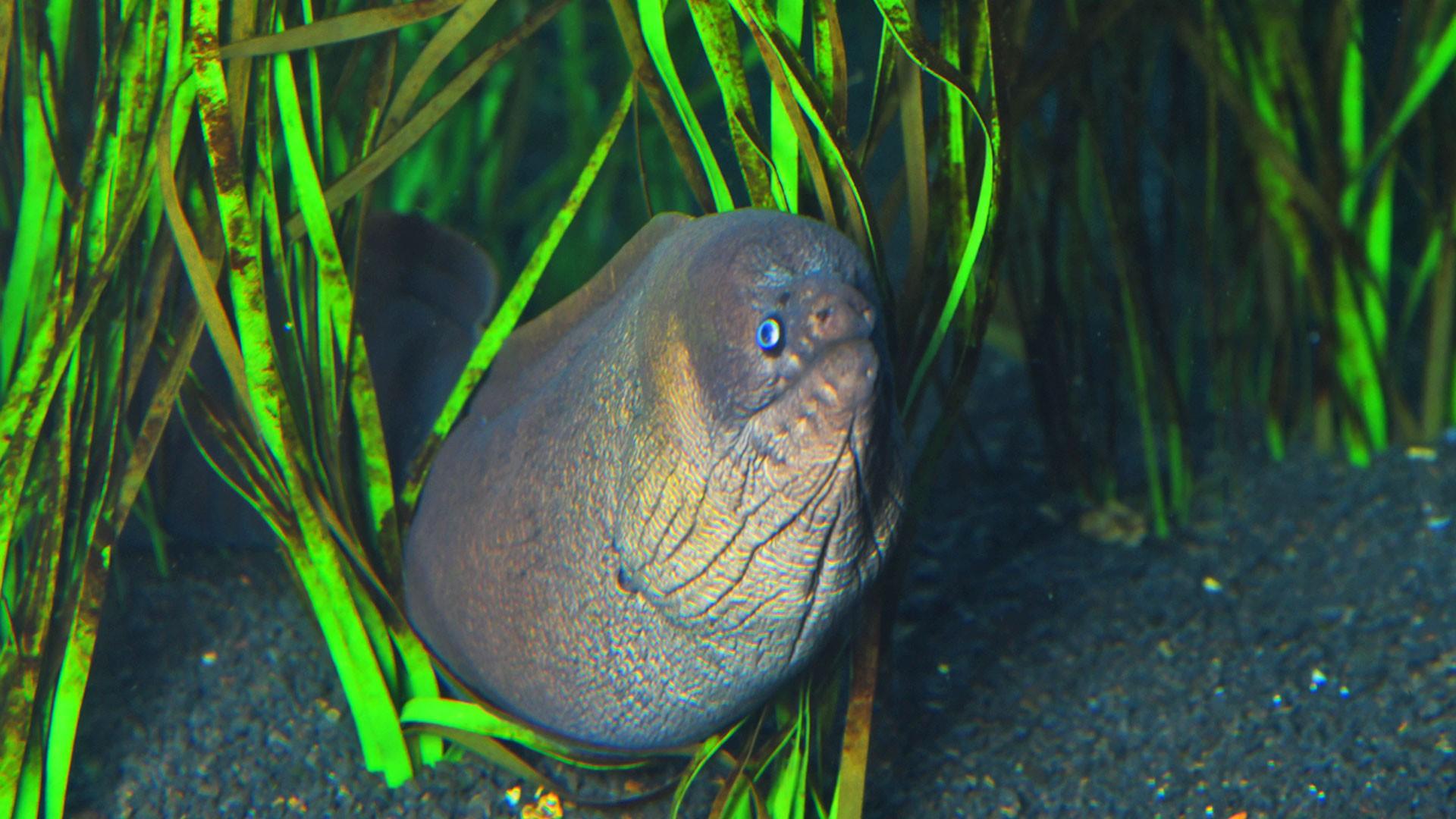 Brown moray eel