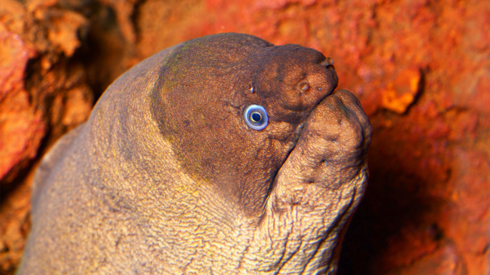 Brown moray eel