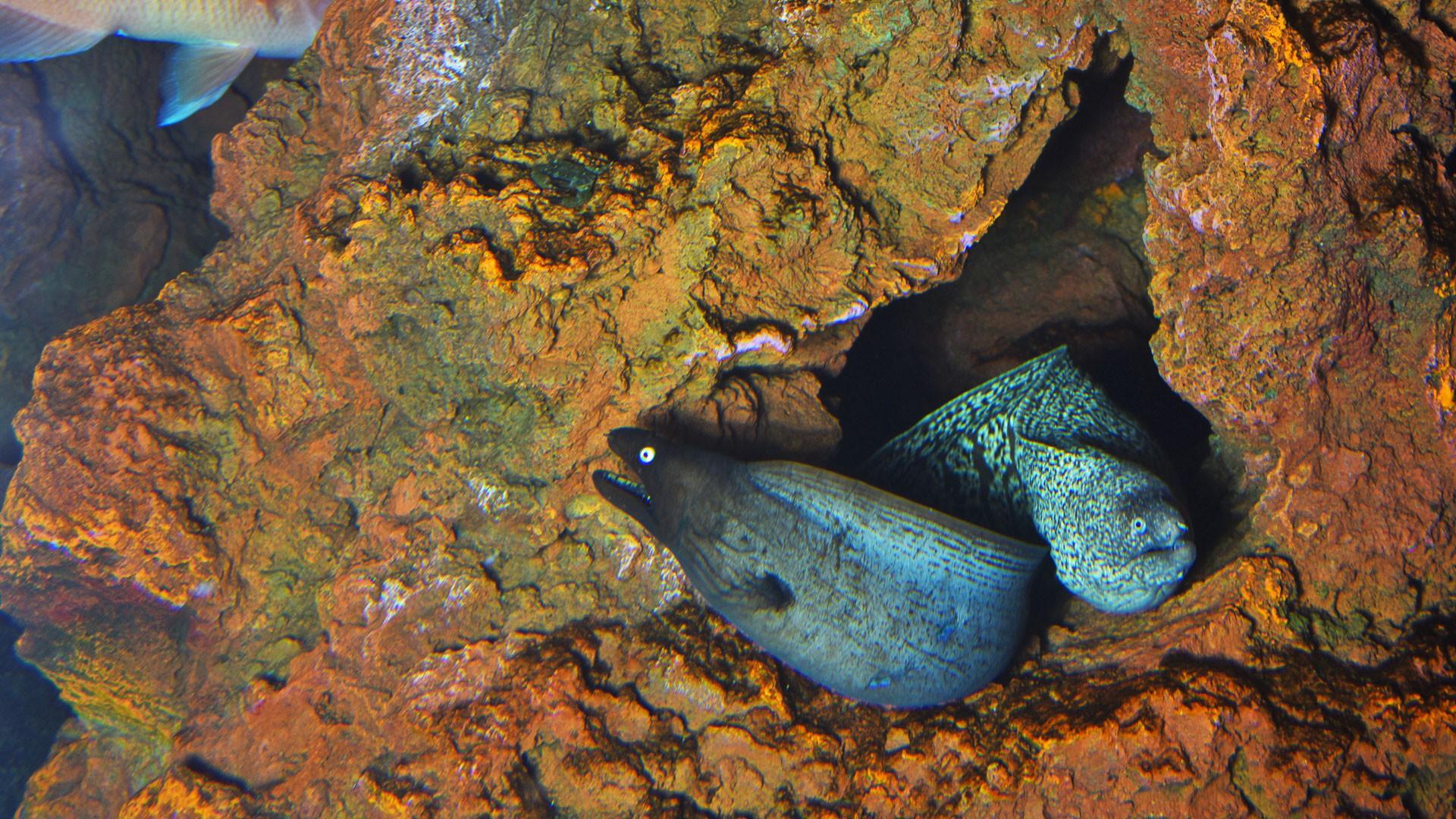 Black moray eel