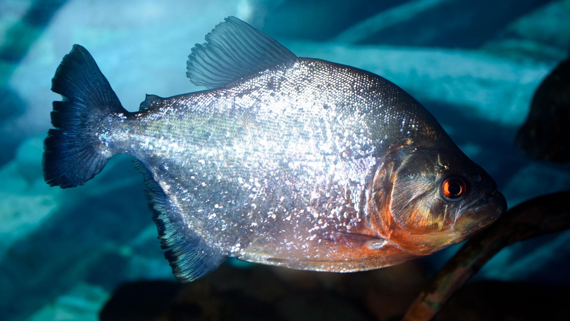Redeye Piranha