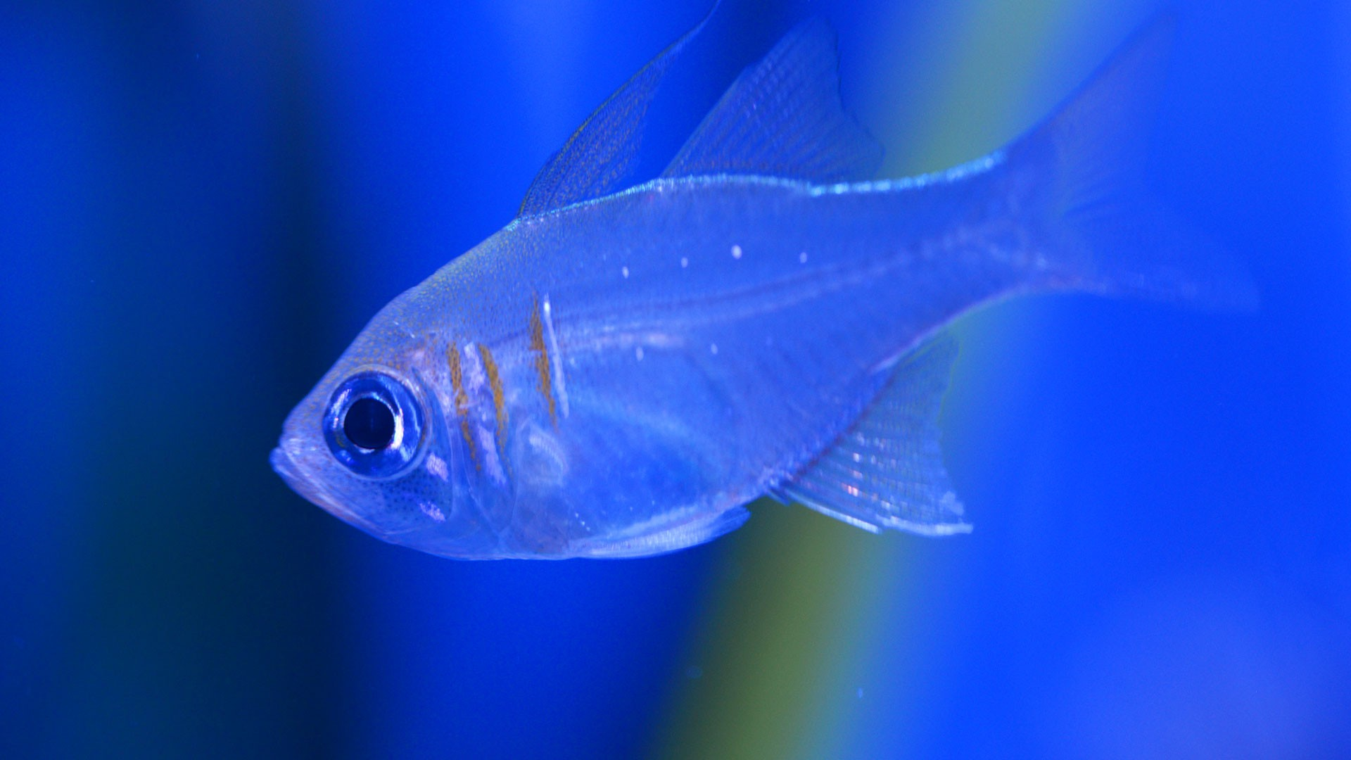 Pez Cardenal de Raya Azul