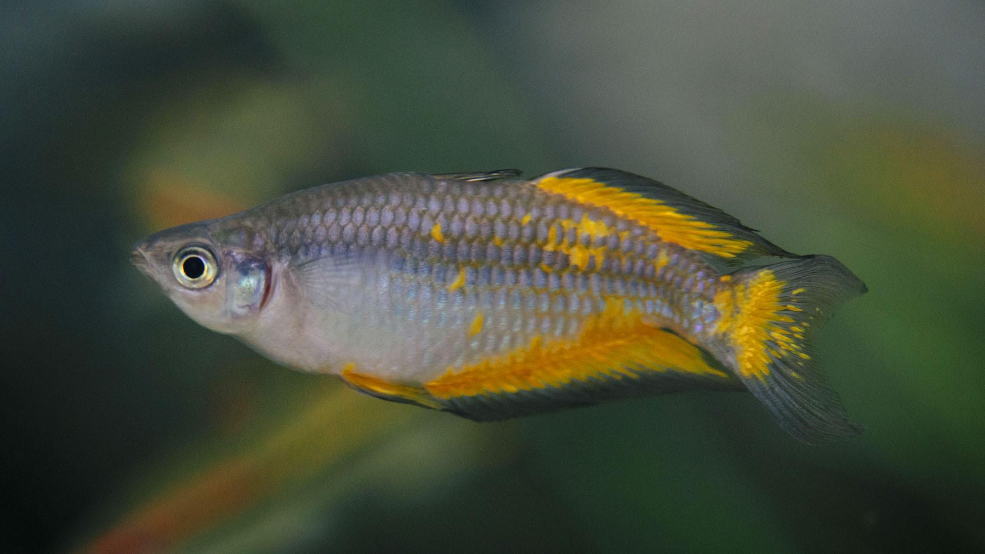 Parkinson Rainbowfish