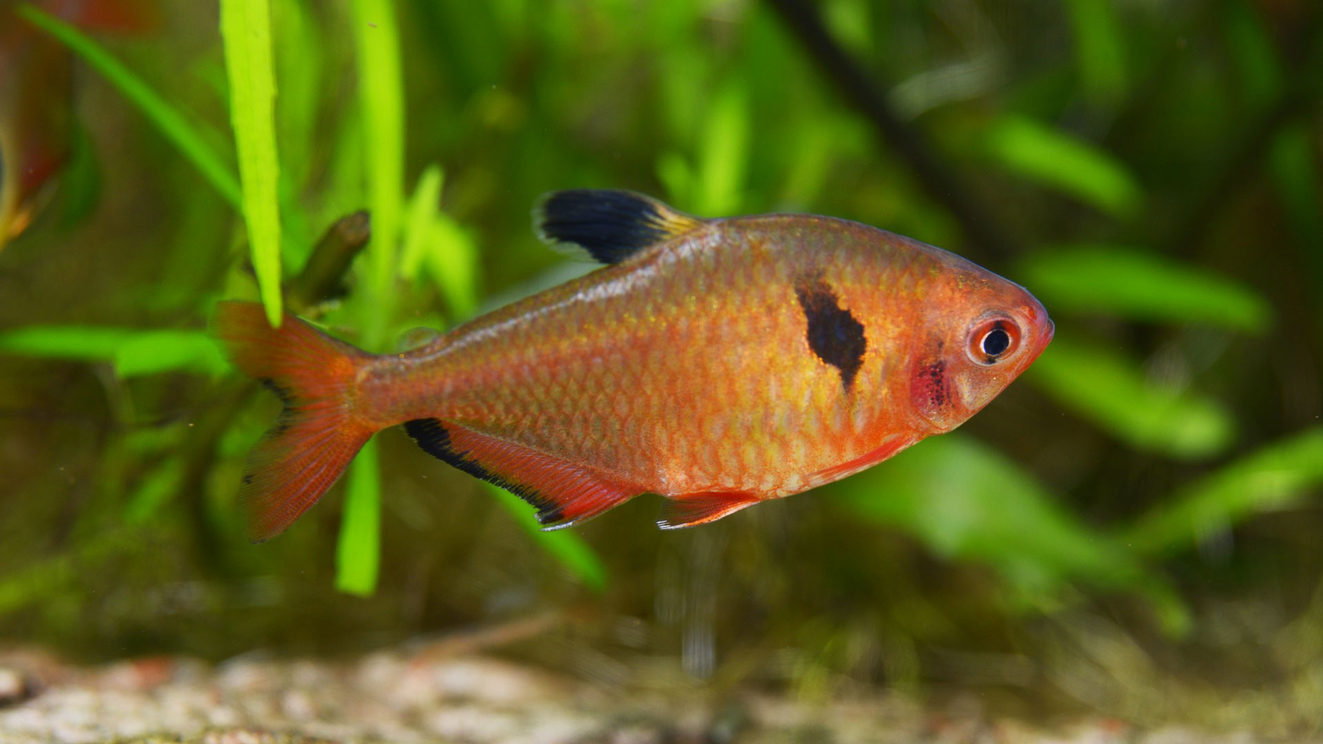 Tetra Rojo