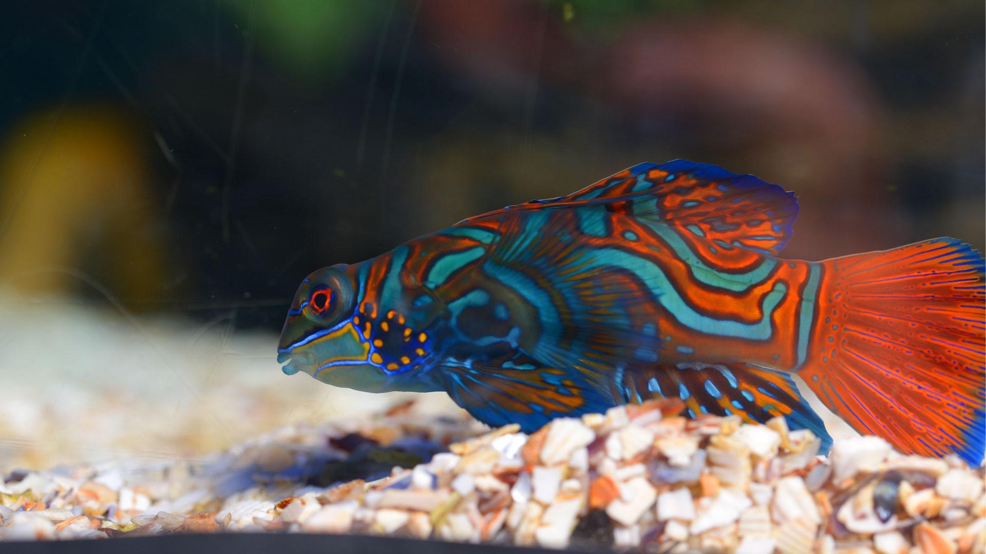 Mandarinfish