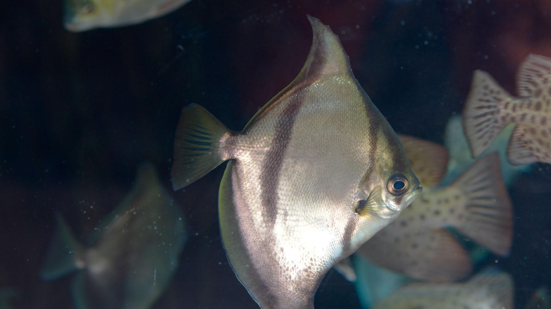 African Moonfish