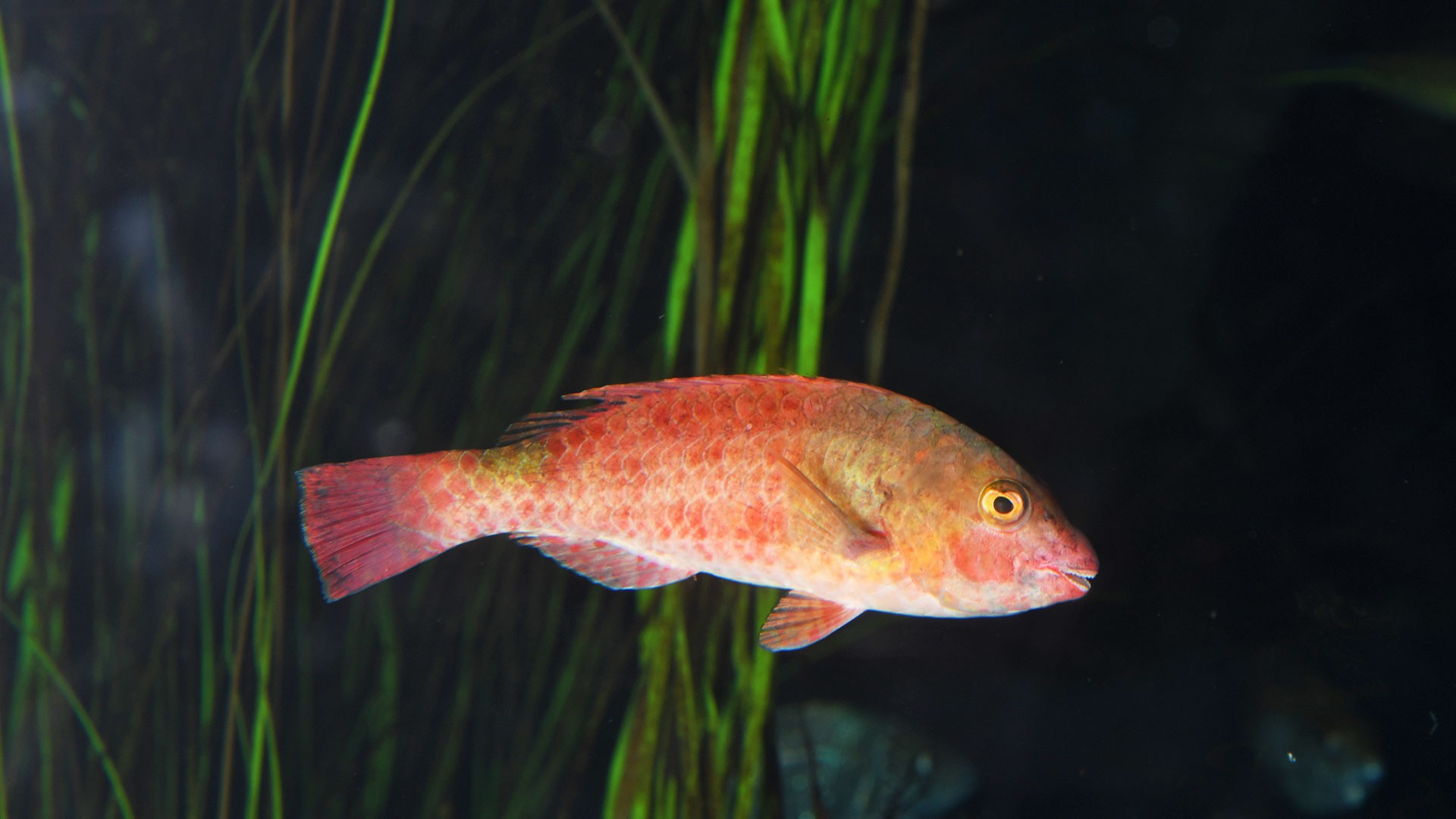 Vieja Fisch