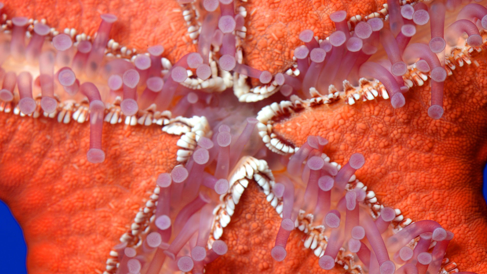 Mediterranean Red Sea Star