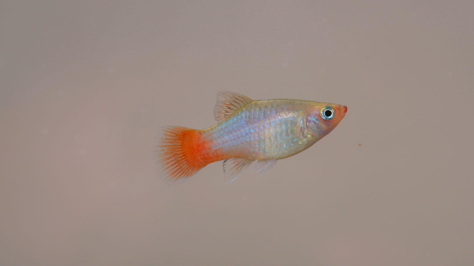 Butterfly splitfin