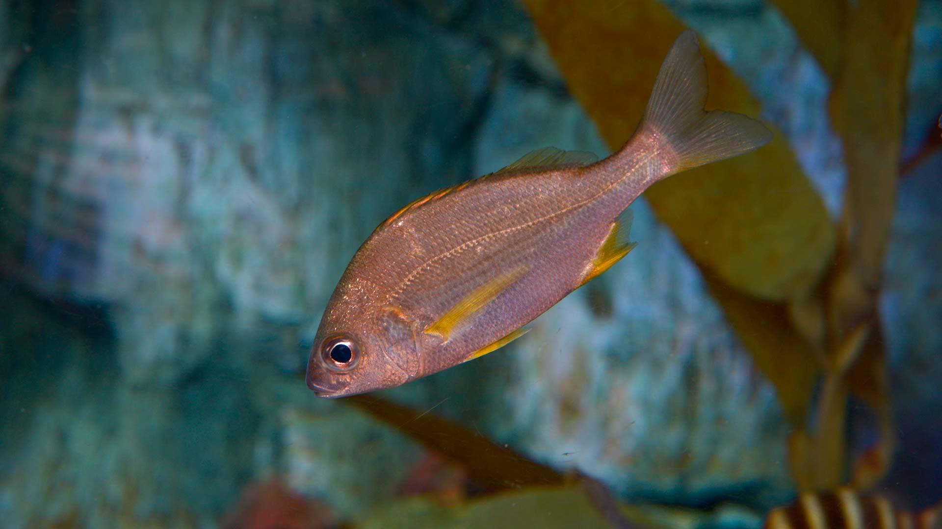 Spotfin croaker