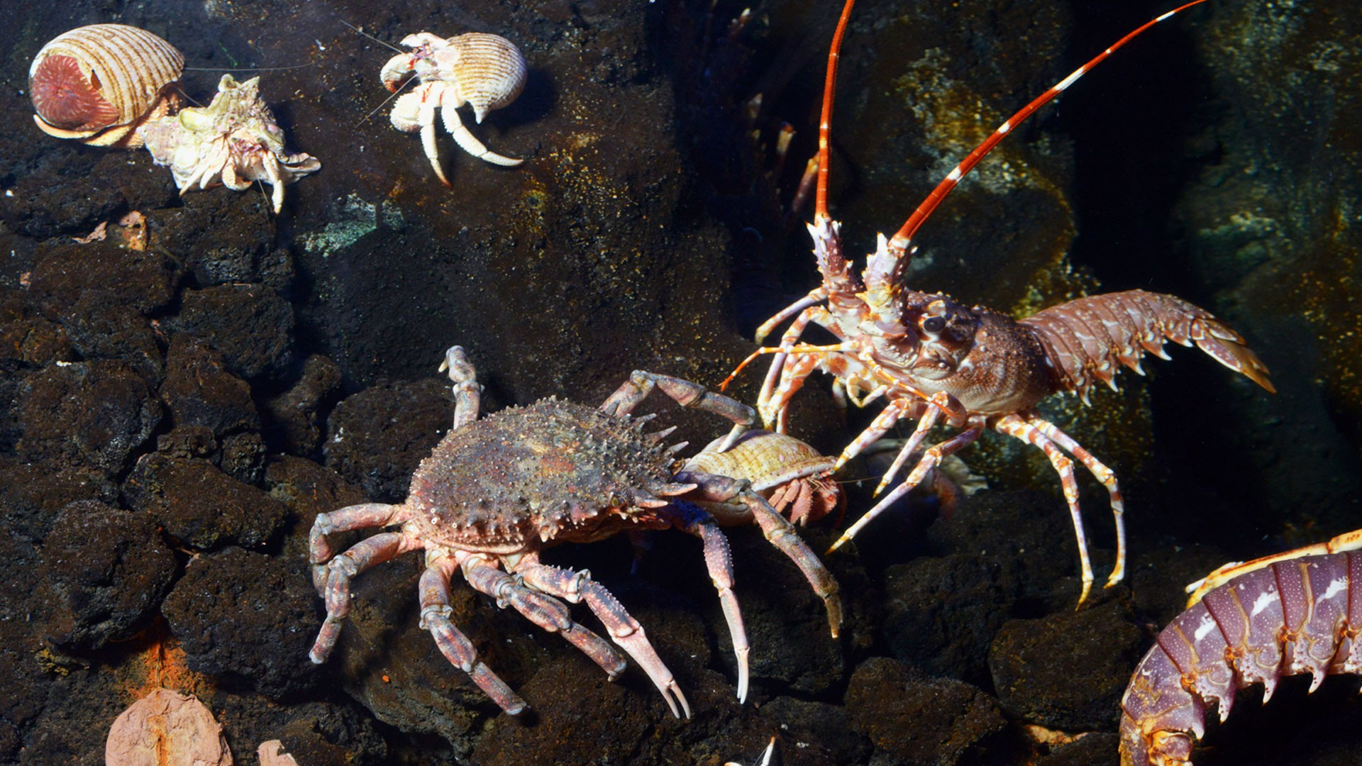 European spider crabs