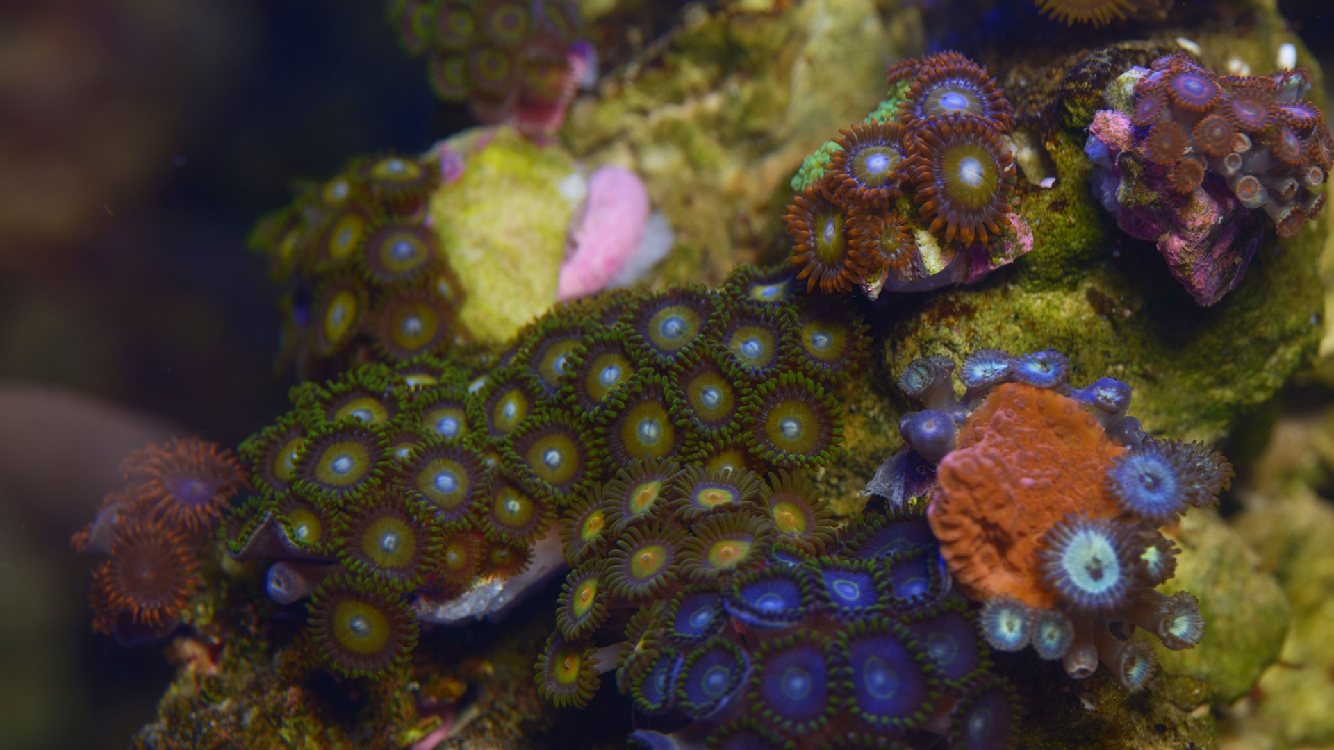 Coral reef polyps