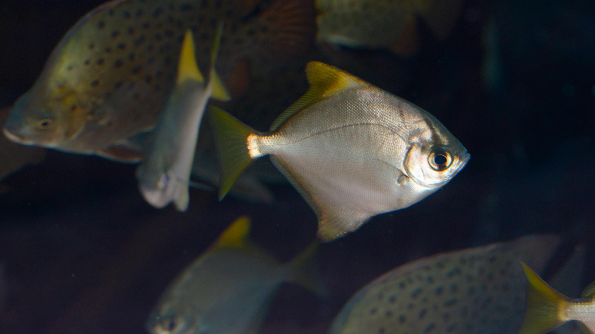 Malaysian Angelfish
