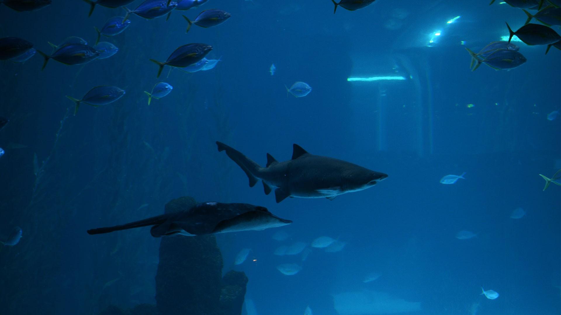 Sand tiger shark