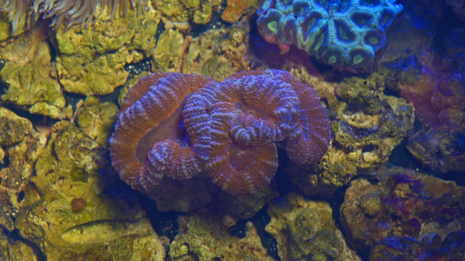 Coral Cerebro Abierto