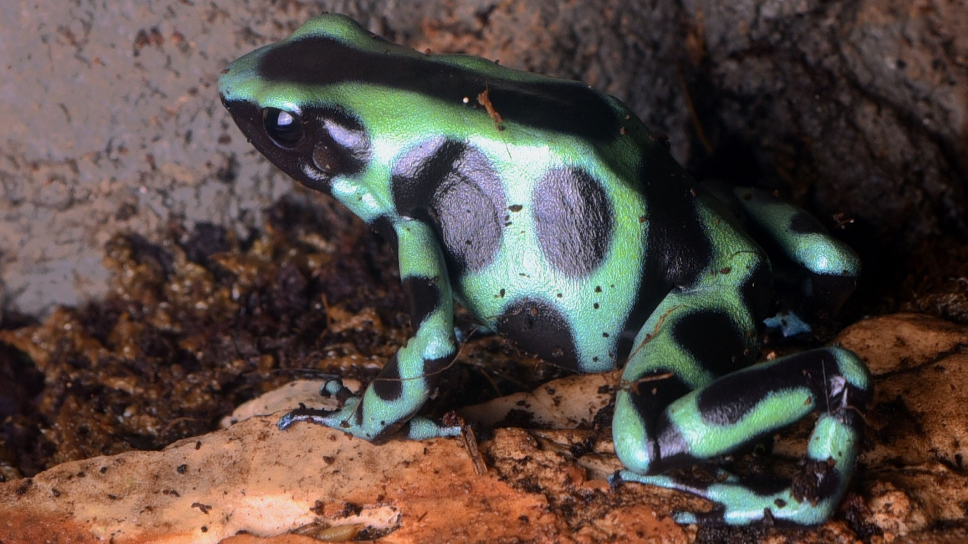 Green-and-Black Poison Dart Frog