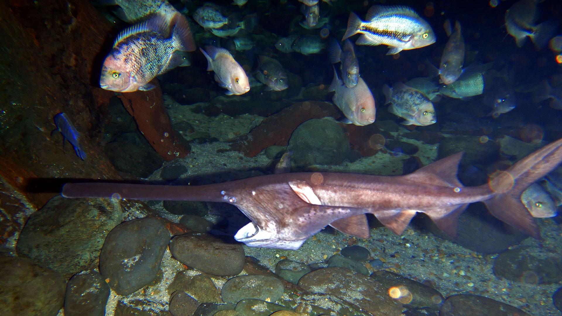 American Paddlefish