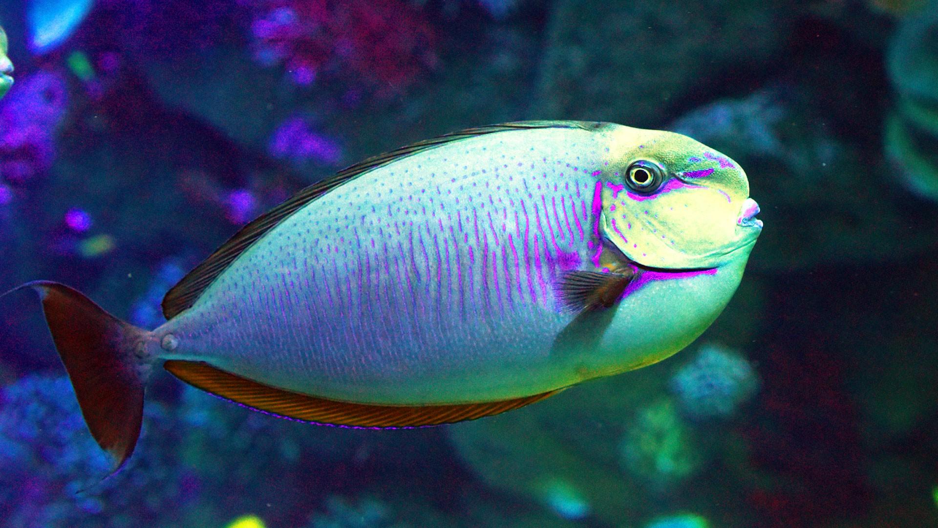 Vlamigni Surgeonfish