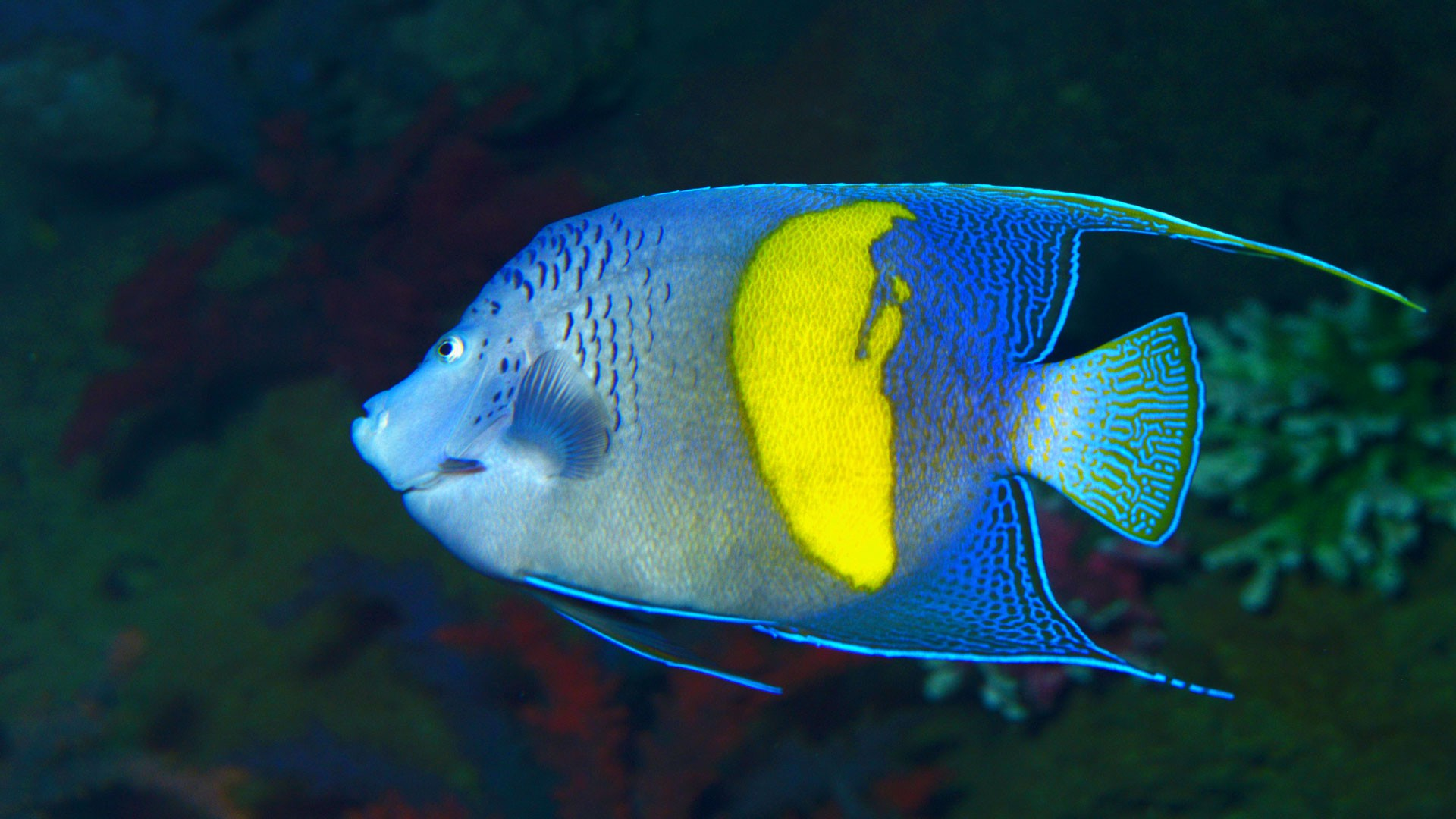 Bblue-girdled Angelfish