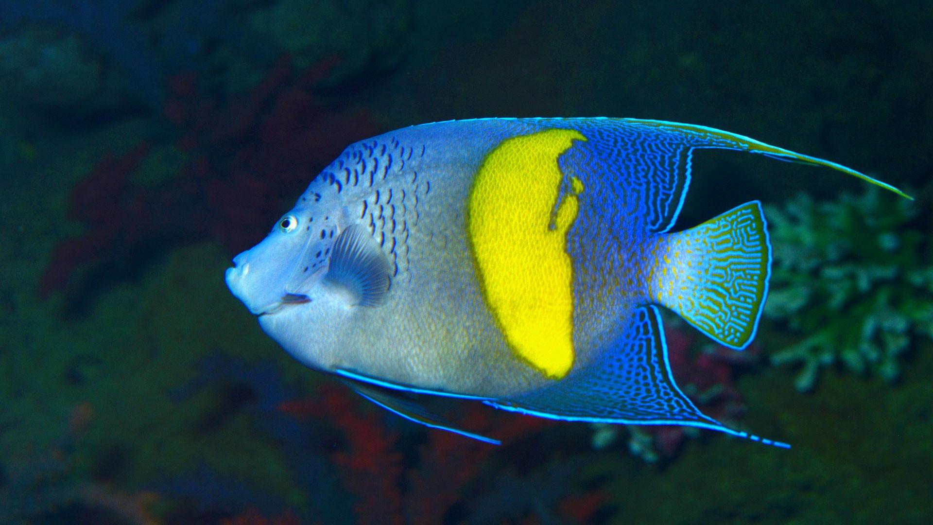 Bblue-girdled Angelfish