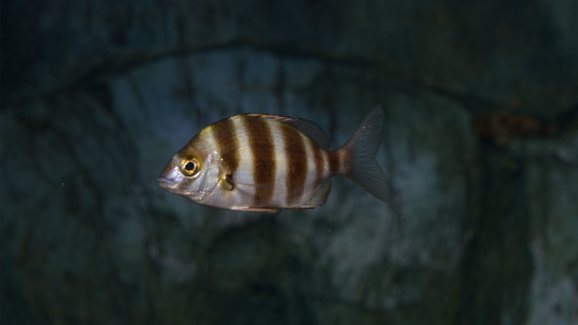 Zebra seabream