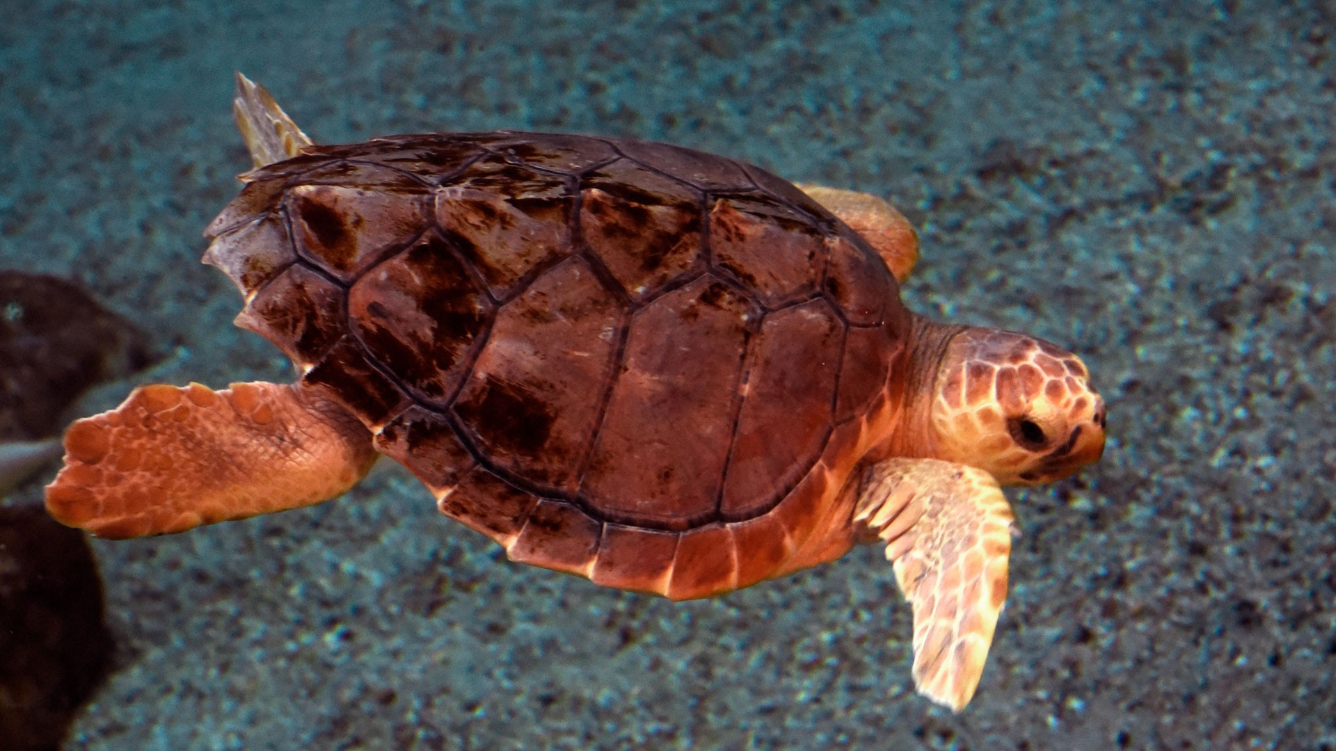 Loggerhead sea turtle