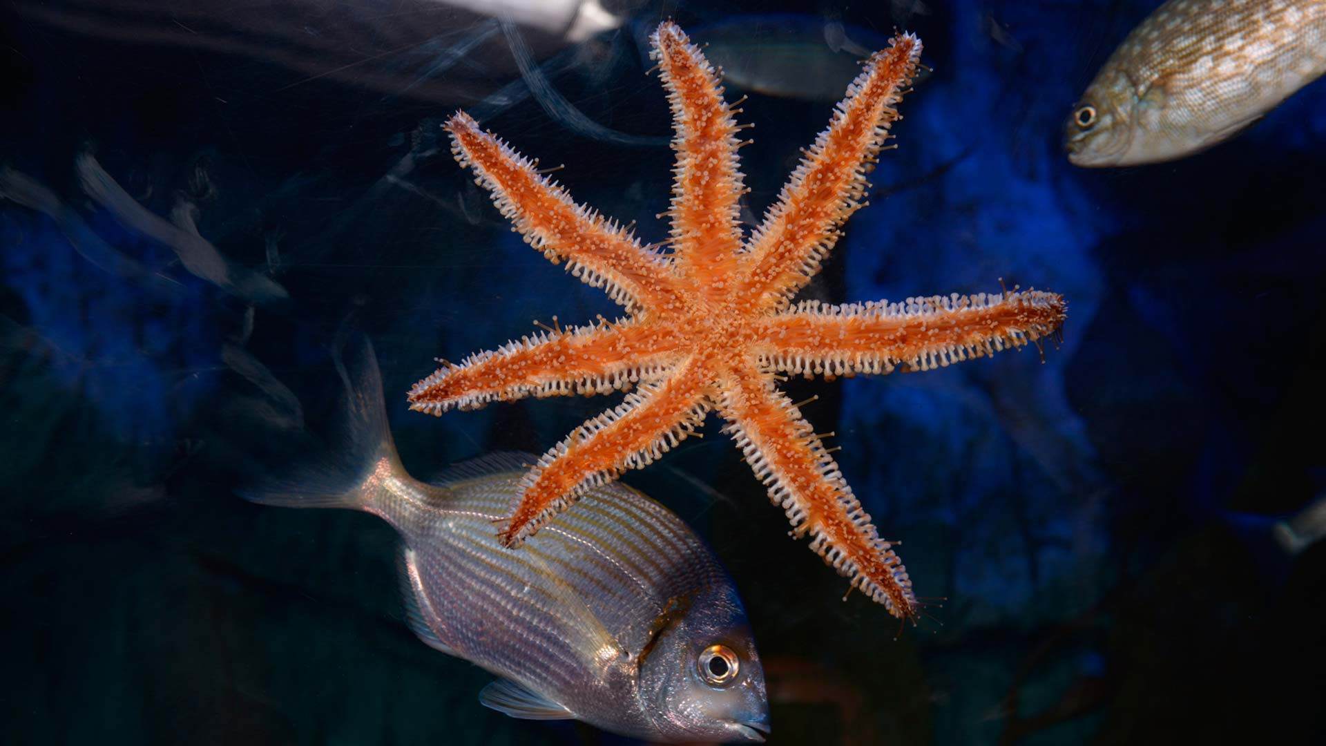 Blue spiny starfish