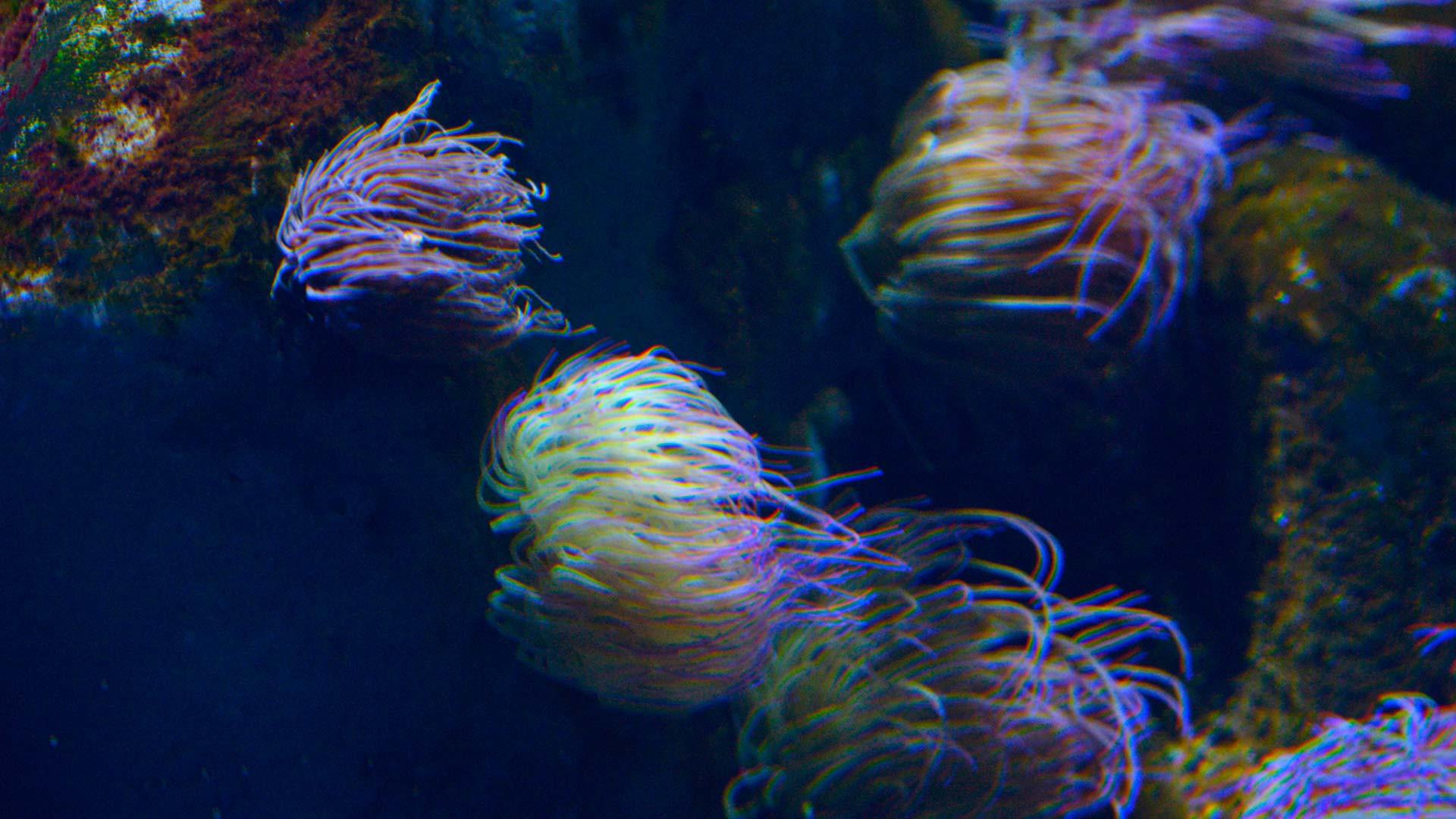 Snakelocks sea anemone
