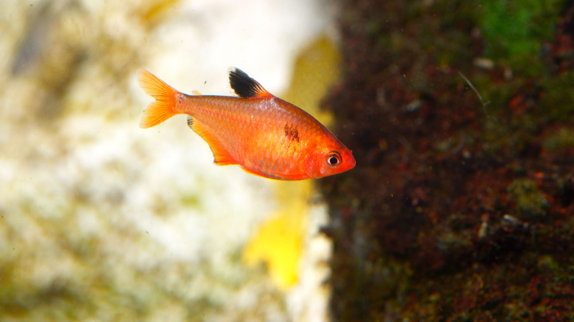 Red Phantom Tetra
