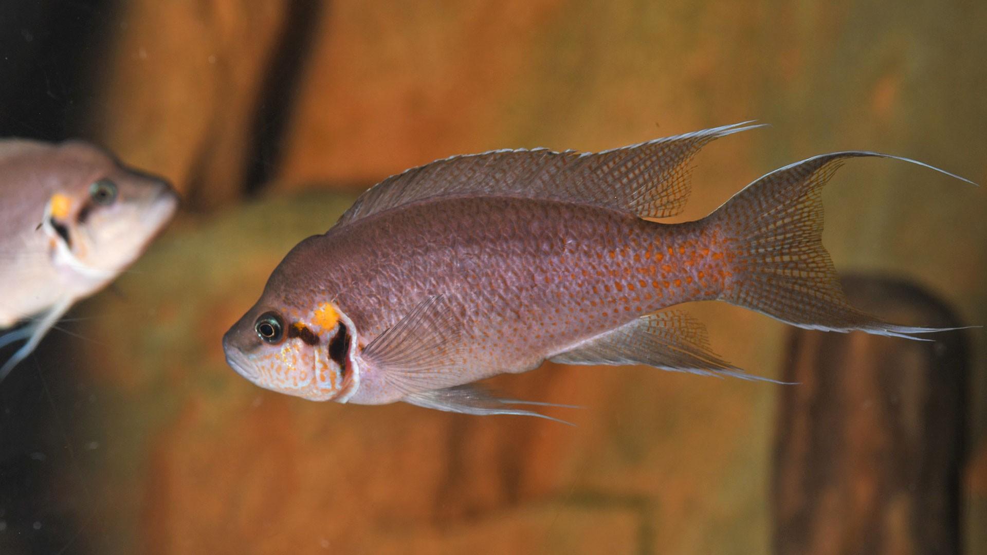 Lyretail Cichlid