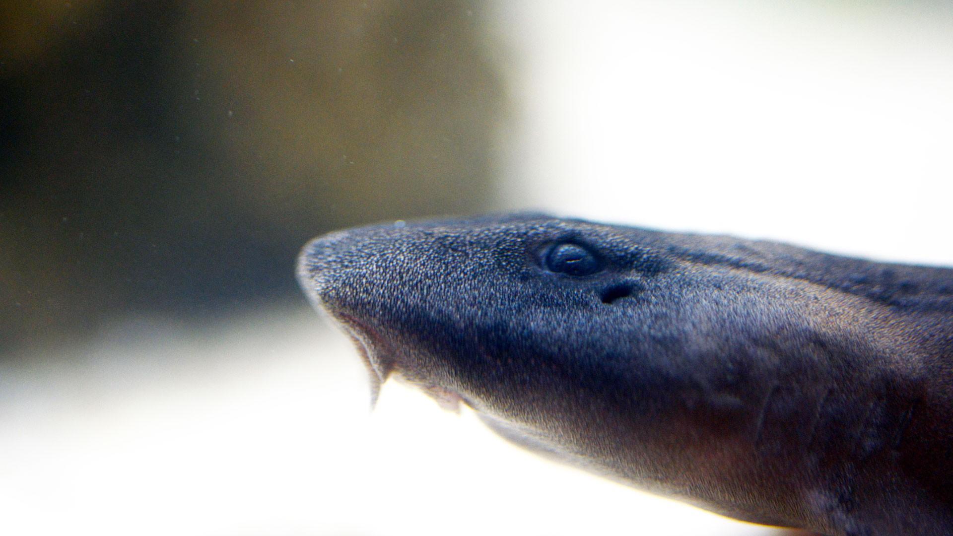Tiburón Bambú