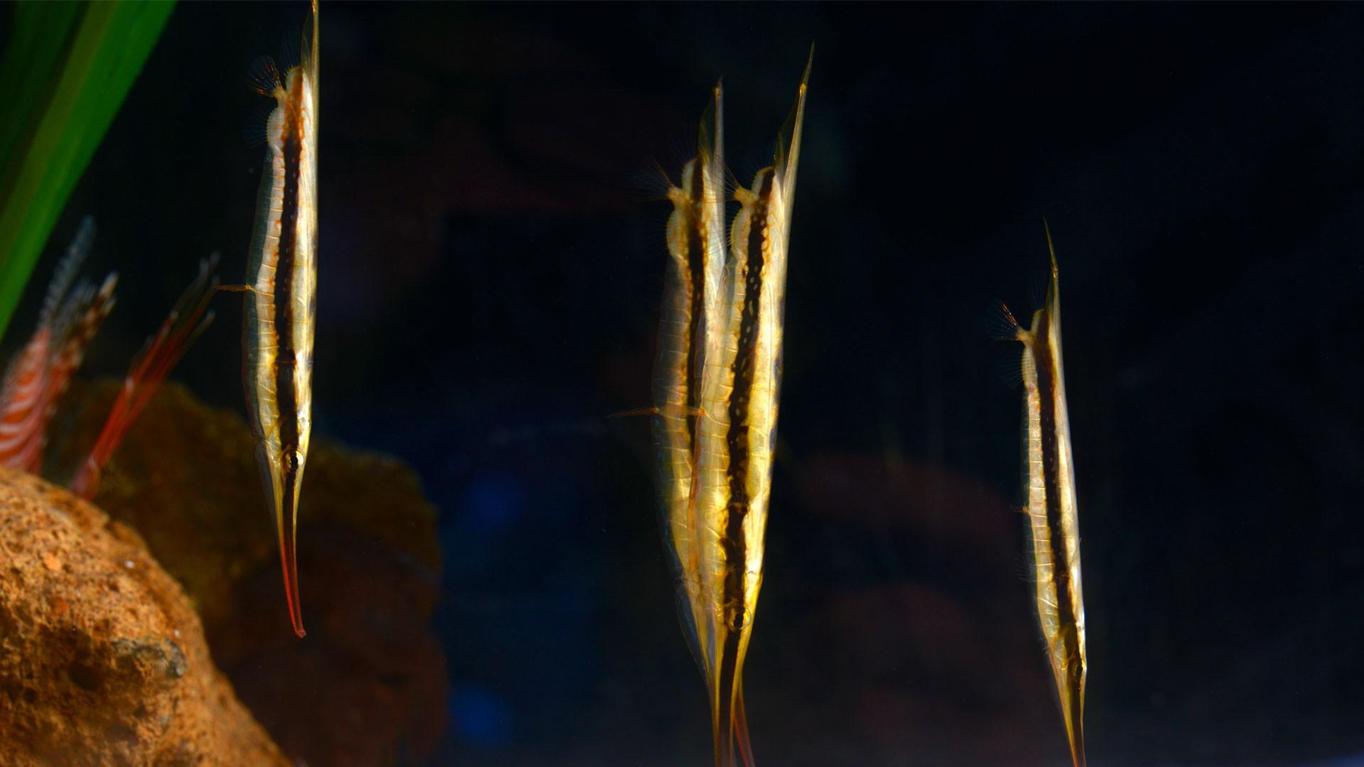 Gestreifter Schnepfenmesserfisch