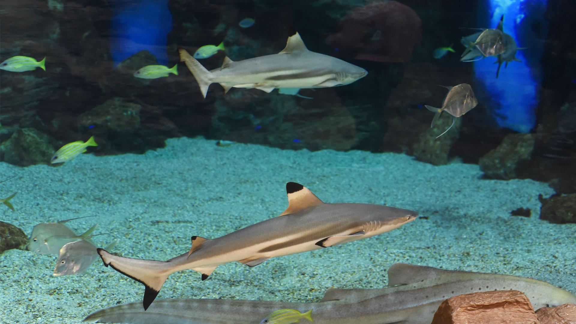Blacktip Shark