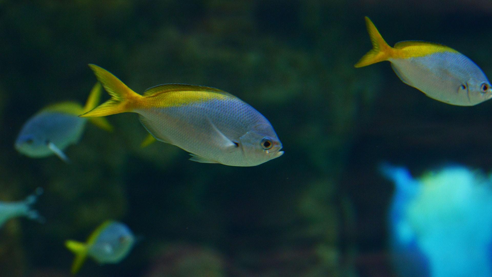 Gelber Blaurücken