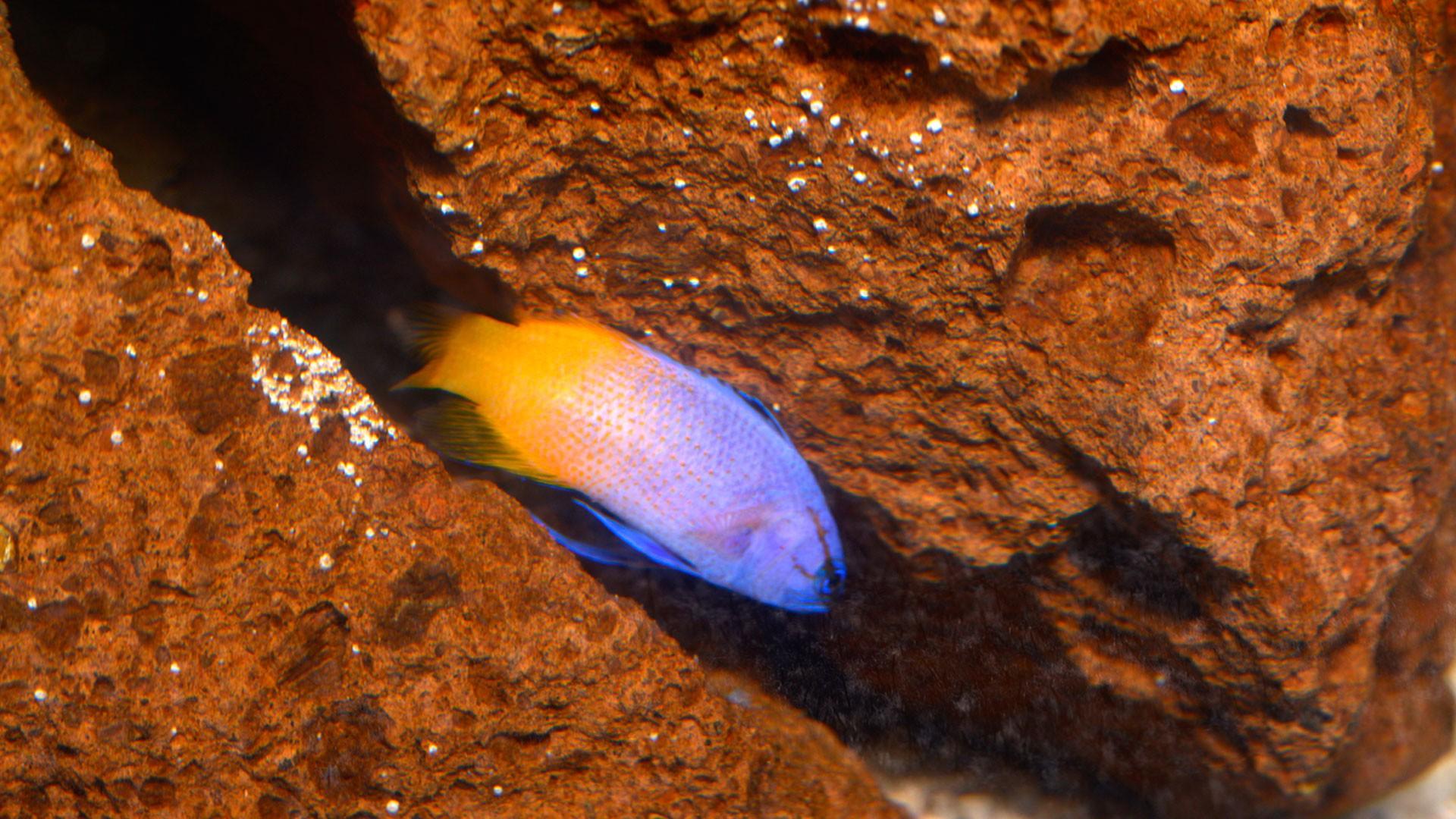 Royal Gramma fish