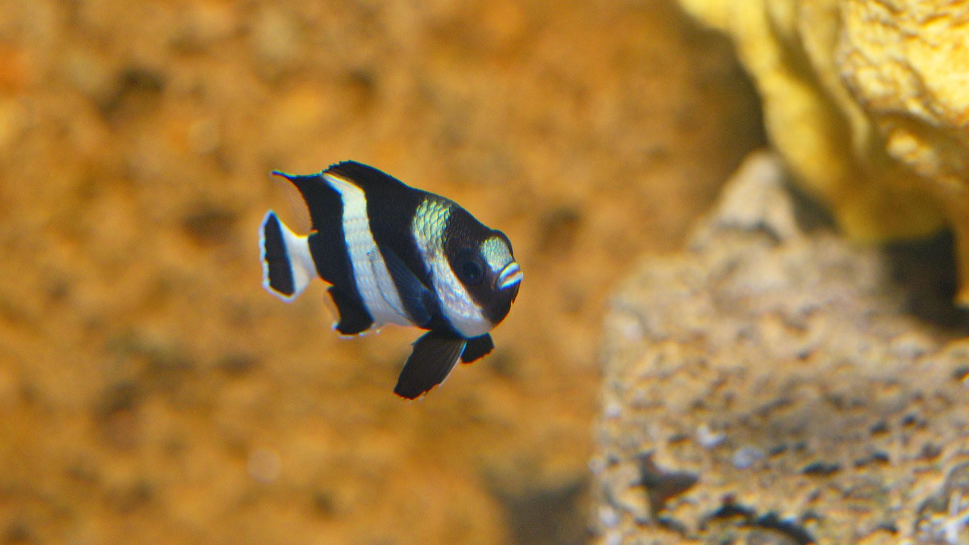 Three-striped Damselfish