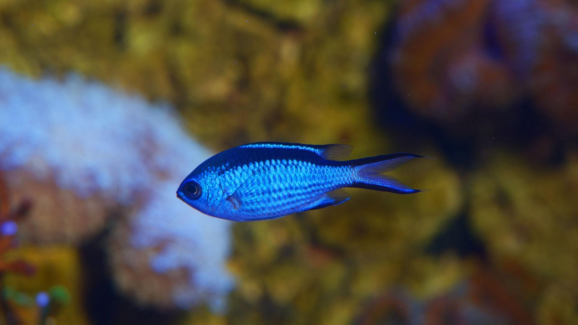 Damisela Azul