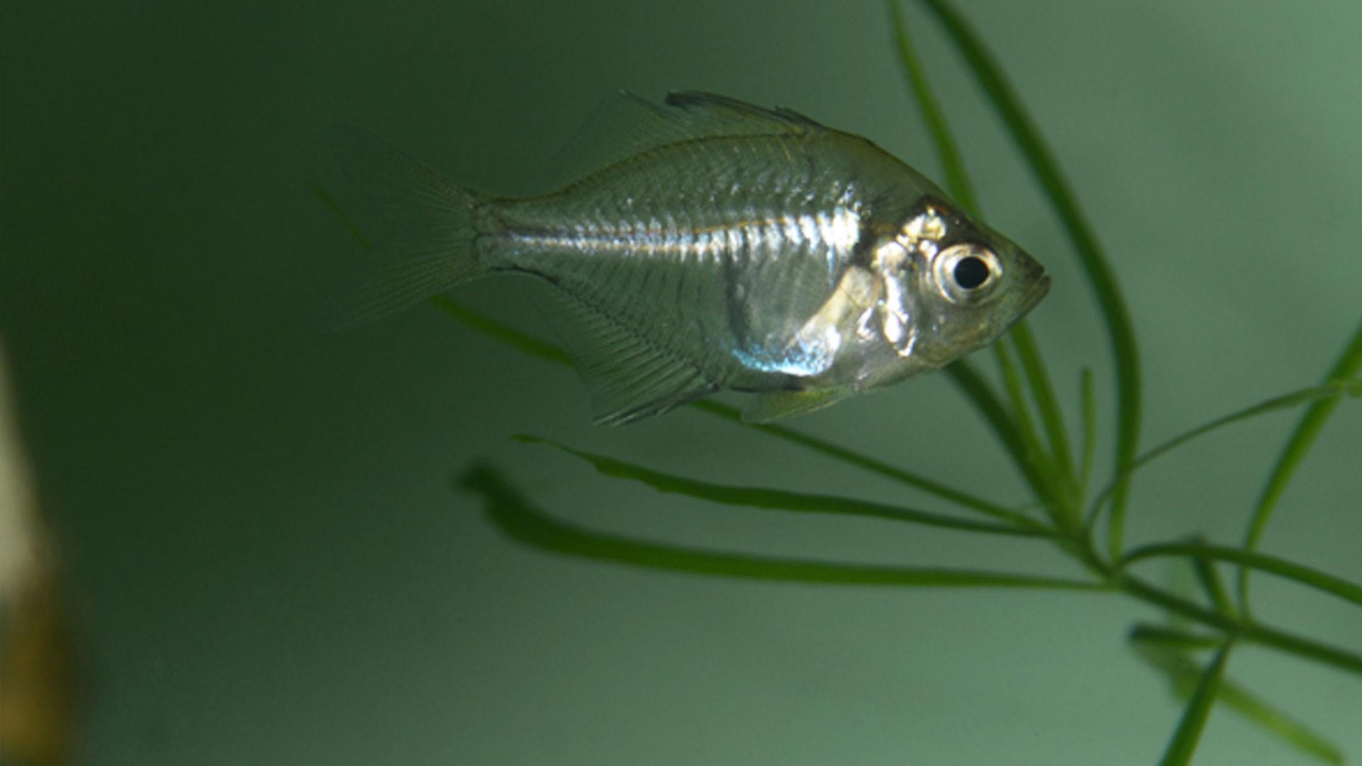 Highfin Glassy Perchlet