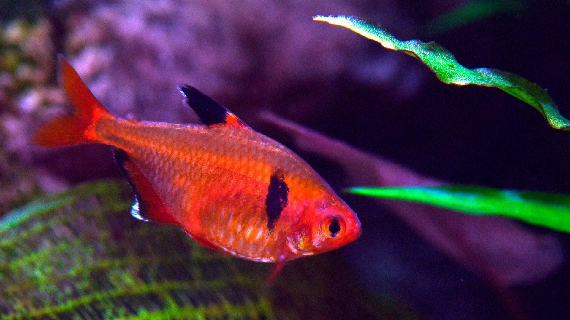 Roter Phantomsalmer