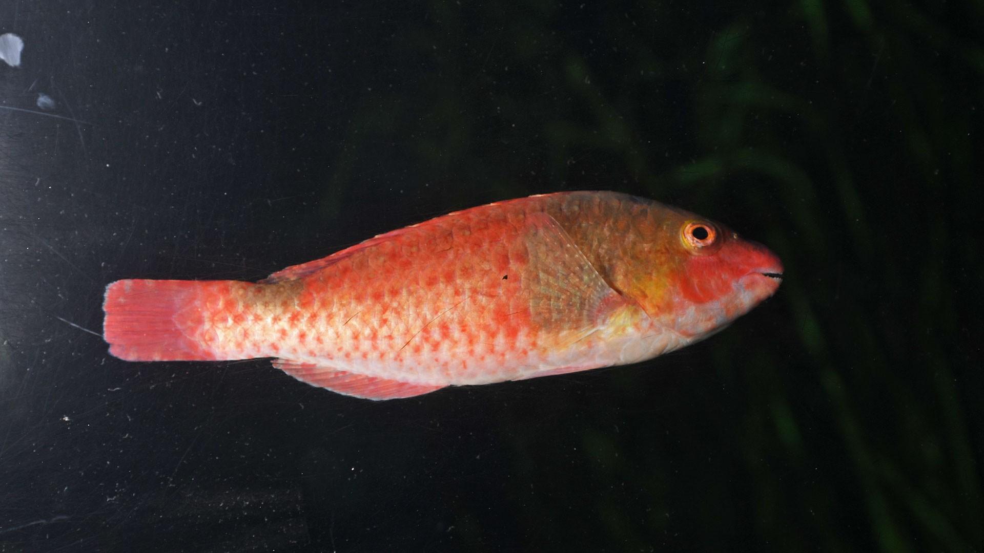 Vieja fish