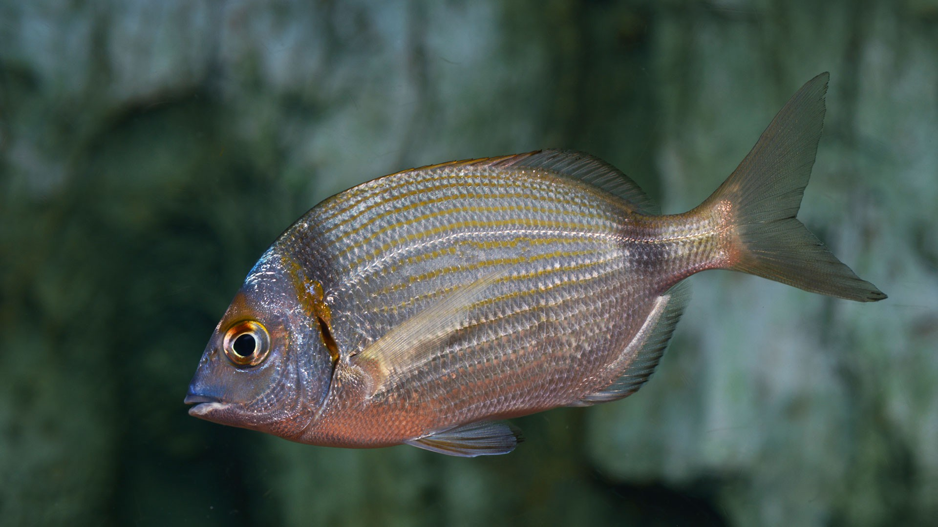 Two-banded seabream