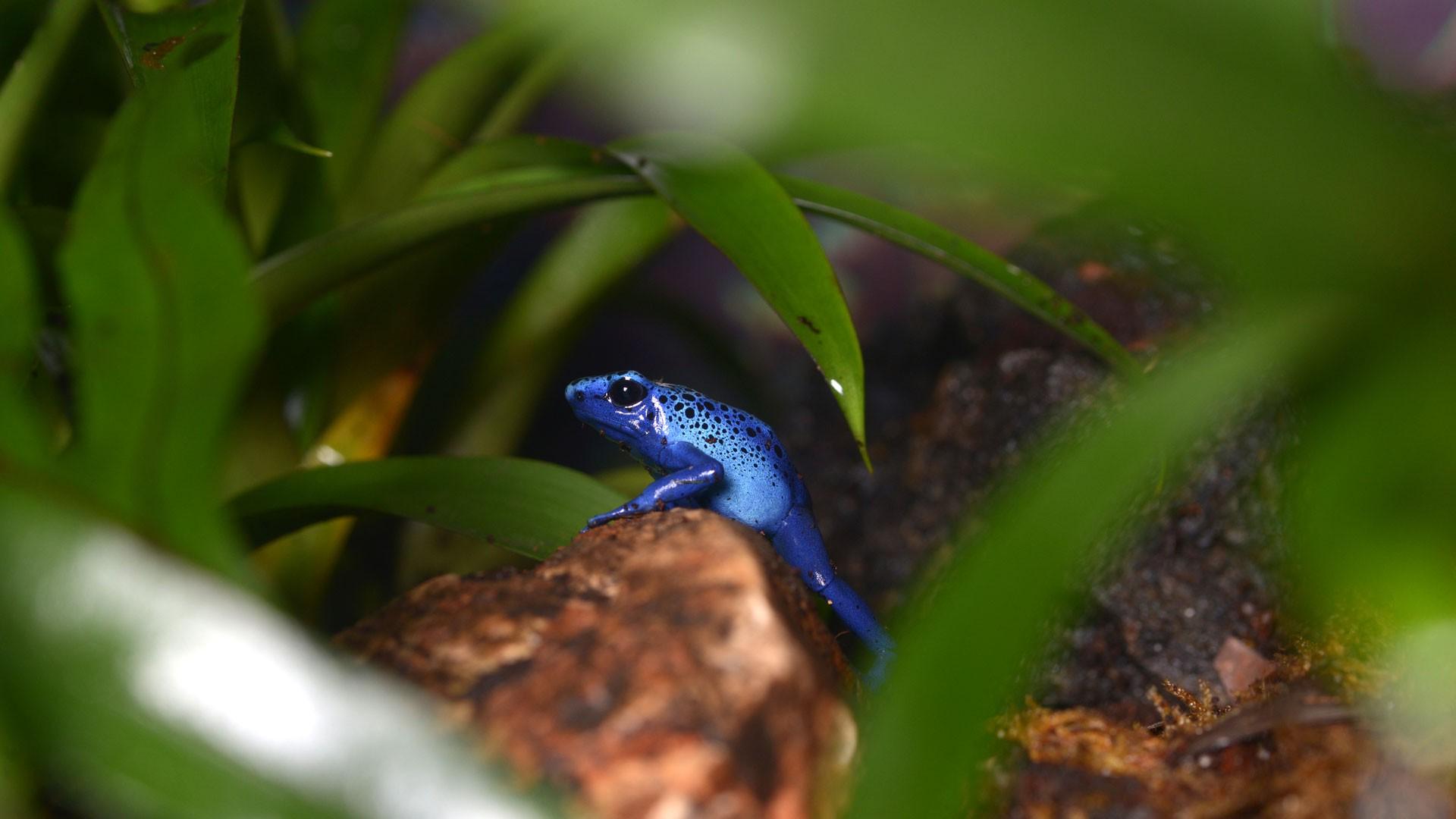 Rana Flecha Azul
