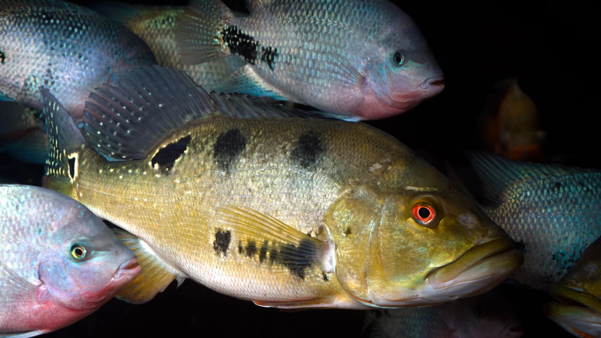 Butterfly Peacock Bass